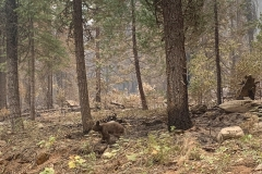 An orphaned bear cub walks alone through an area impacted by the Dixie Fire in Plumas County, Calif., Sunday, Aug. 15, 2021. Thousands of Northern California homes remain threatened by the nation's largest wildfire and officials warn the danger of new blazes erupting across the West is high because of unstable weather. (AP Photo/Eugene Garcia)