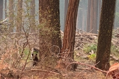 An orphaned bear cub is seen alone by a tree in an area impacted by the Dixie Fire in Plumas County, Calif., Sunday, Aug. 15, 2021. Thousands of Northern California homes remain threatened by the nation's largest wildfire and officials warn the danger of new blazes erupting across the West is high because of unstable weather. (AP Photo/Eugene Garcia)