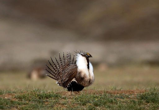 FILE - In this April 22, 2015, file photo, a male sage grouse struts in the early morning hours on a leak outside Baggs, Wyo. Interior Secretary Sally Jewell said Tuesday, Jan. 3, 2017, that a new wildfire-fighting plan to protect a wide swath of sagebrush country in the West that supports cattle ranching and is home to an imperiled bird will likely continue after the Obama administration ends. (Dan Cepeda/The Casper Star-Tribune via AP, File)