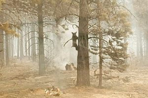 Bear trapped in tree at Bootleg Fire
