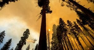 Helicopter drop near sequoia trees